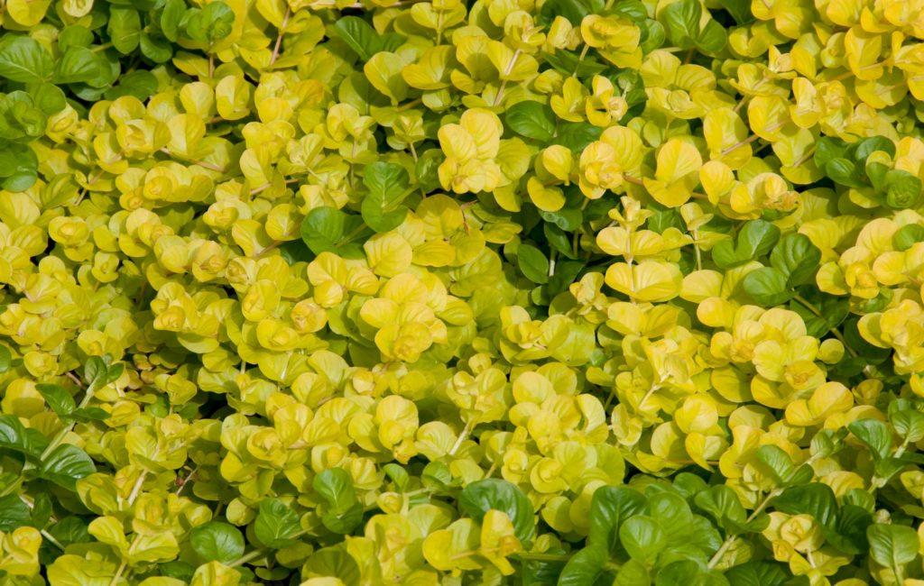 Фото цветок вербейник монетчатый