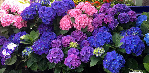 Цветы в сад купить доставка цветов усолье сибирское